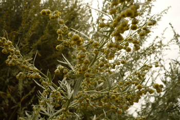 Beautiful artemisia, silver with gold flowers