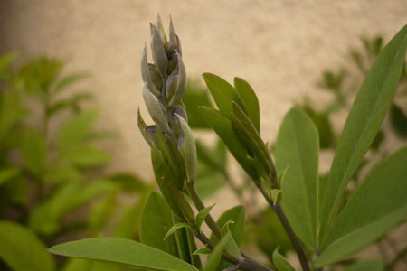 Purple-hued wild indigo flower buds