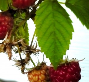 Raspberries in Lincoln Park