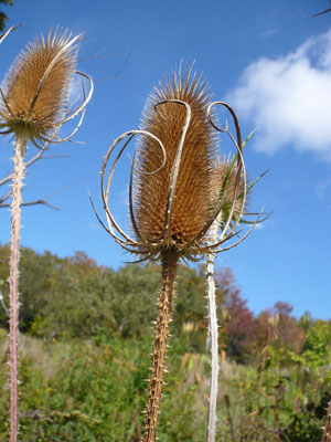 Dried teasel in the fall