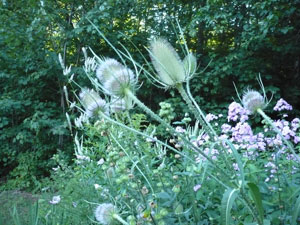 teasels in bloom