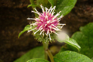 Burdock flower, though the root is used for decoctions