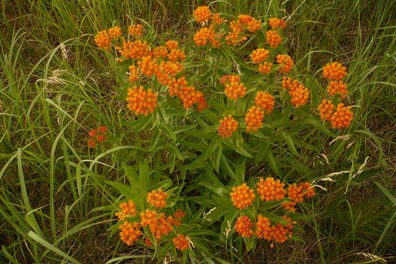 The root of butterfly weed is used in lung formulas