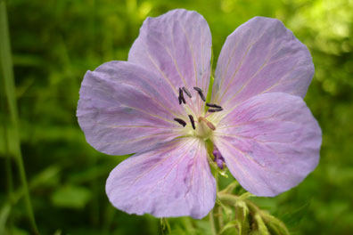 Wild geranium or cranesbill root is used as an astringent