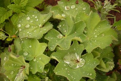 ladys-mantle-dew