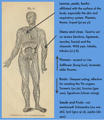 Plant part actions, Chinese medicine view.