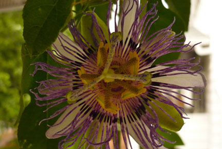 Passionflower -