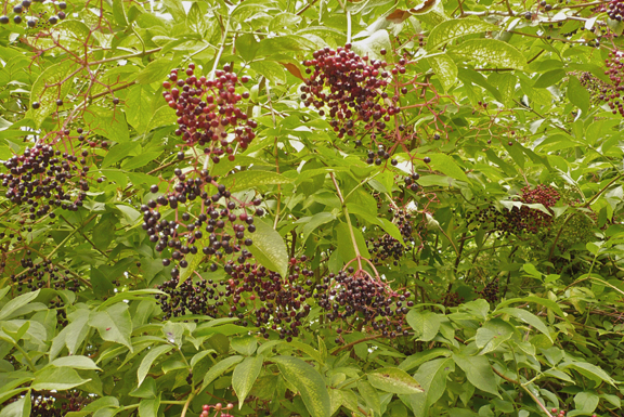 elderberries-on-bush