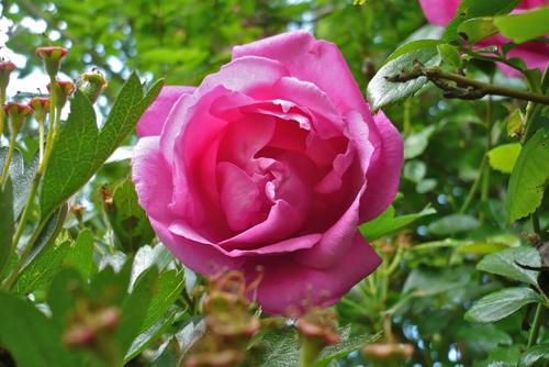 rose-park-pink