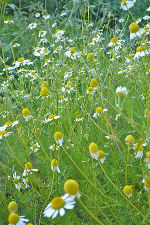chamomile-garden