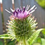 Burdock in Flower - Arctium Lappa