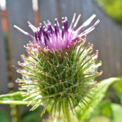 Burdock in Flower - Arctium Lappa