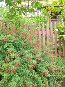 Fuchsia and fence