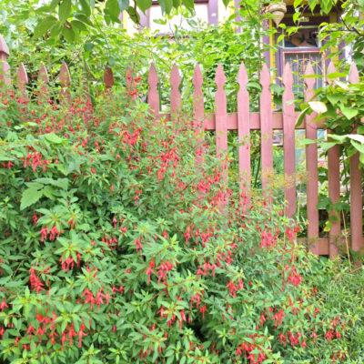 Fuchsia and fence