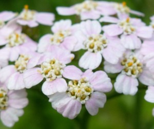 Pink-tinged Yarrow