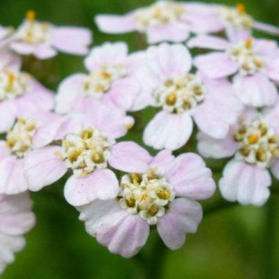 Pink-tinged Yarrow
