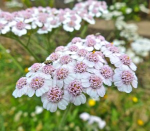A Mauve-Centered Yarrow