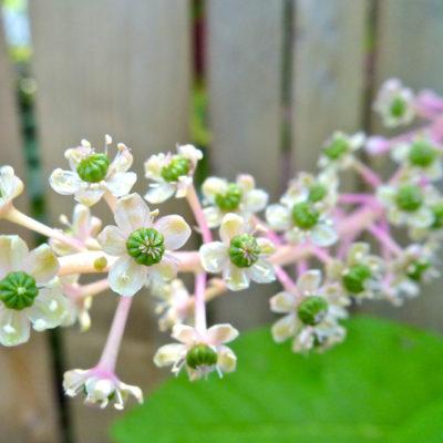 Poke Flowers - Phytolacca americana