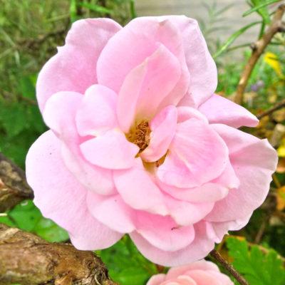 Rose Amongst the Rosemary
