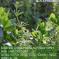 Cleavers, Galium Arapine