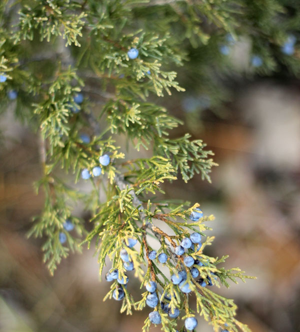 juniper-berries-close-up