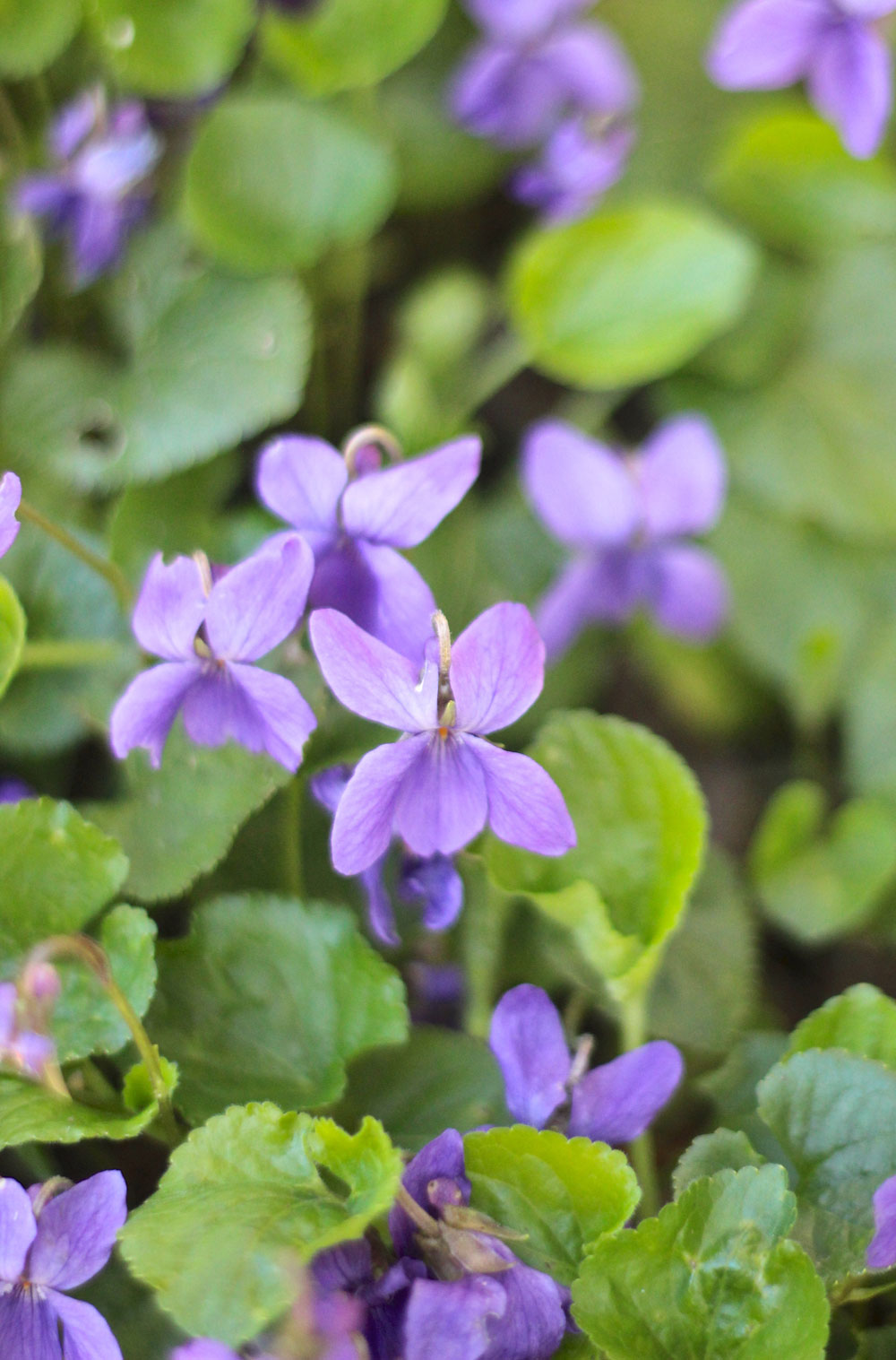 violets-in-yard